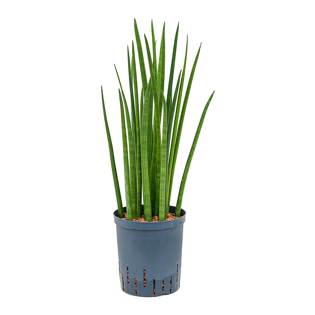 Sansevieria cylindrica Spikes Hydroculture Indoor Plant