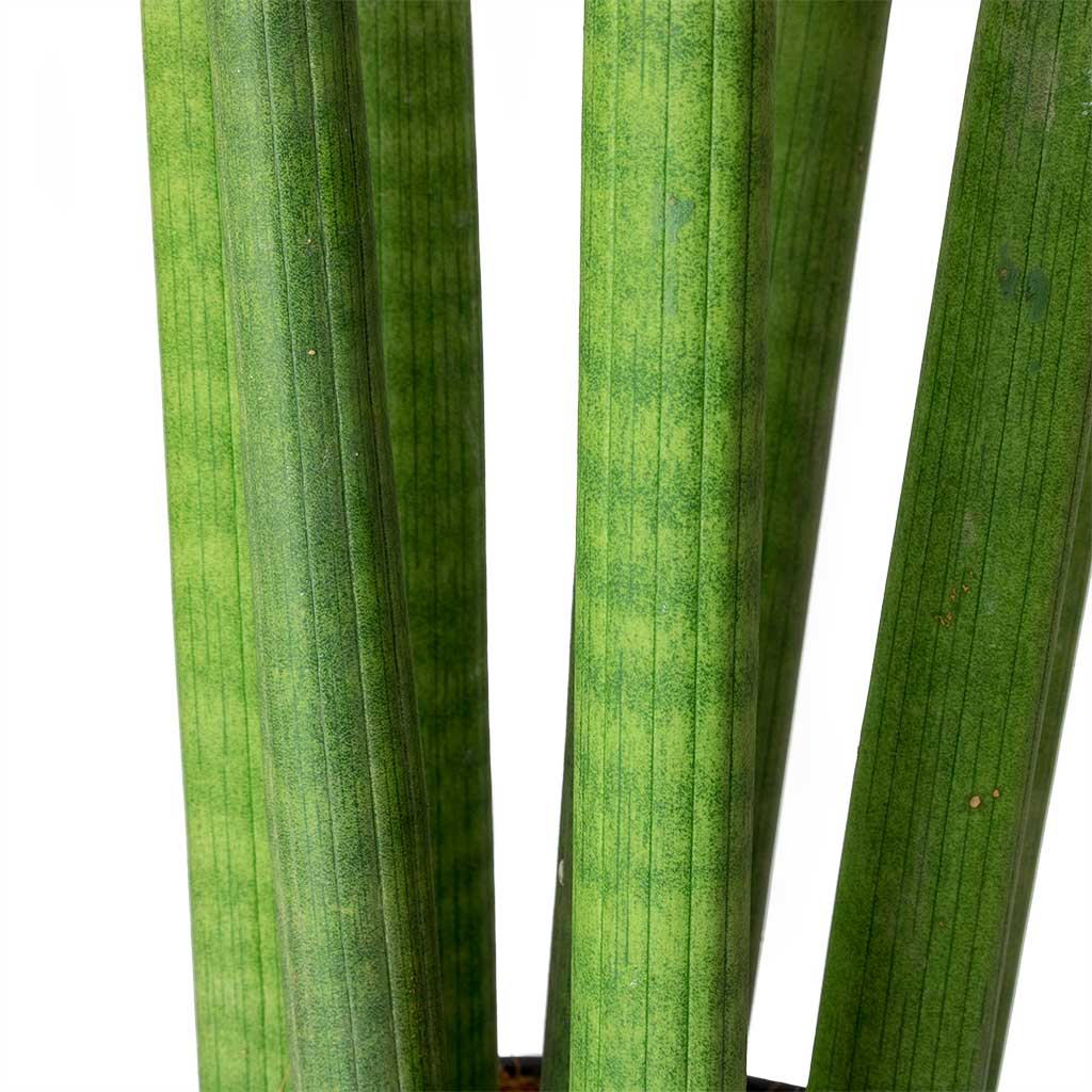Sansevieria cylindrica Straight Hydroculture Indoor Plant Large