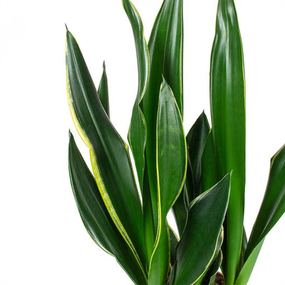 Sansevieria trifasciata Diamond Flame - Snake Plant Leaves