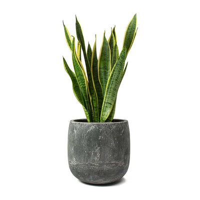 Sansevieria trifasciata Laurentii - Variegated Snake Plant & Amber Earth Plant Pot