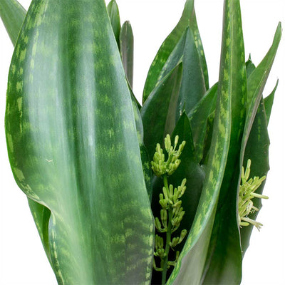 Sansevieria zeylanica Silver Flame - Snake Plant Leaves