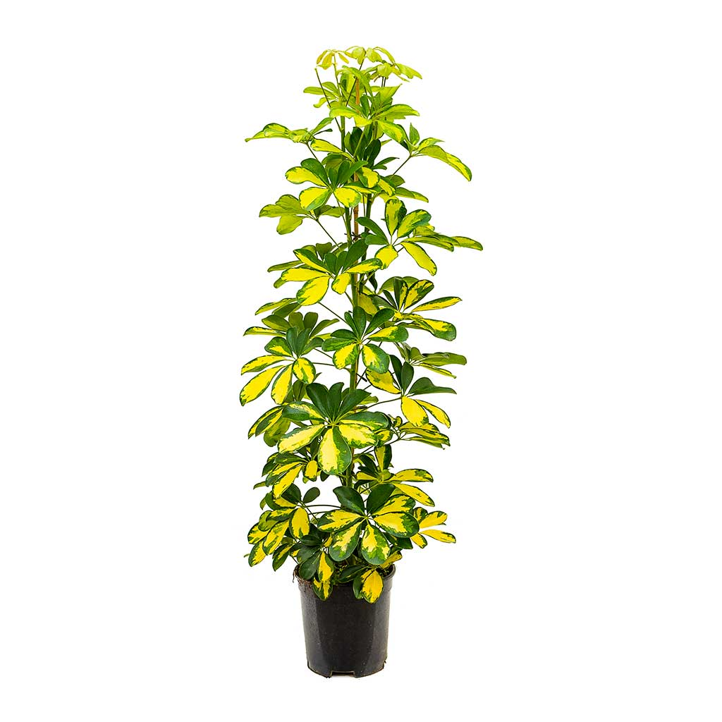 schefflera arboricola gold capella dwarf umbrella tree hortology. Black Bedroom Furniture Sets. Home Design Ideas
