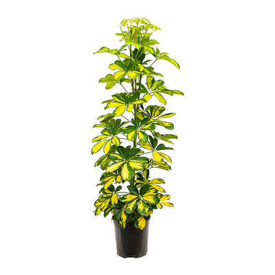 Schefflera Gold Capella - Dwarf Umbrella Tree
