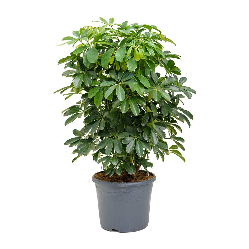 Schefflera arboricola - Dwarf Umbrella Tree | Hortology on umbrella tree schefflera arboricola, umbrella tree care, umbrella tree fruit, umbrella tree plant propagation, umbrella tree bulbs, umbrella tree leaf, umbrella tree tree, umbrella tree fertilizer, umbrella tree potted plant, umbrella tree christmas, umbrella tree flower, umbrella tree tropical, umbrella tree bark, umbrella tree indoor, umbrella tree furniture, umbrella tree seeds, umbrella tree leaves, umbrella tree bonsai,