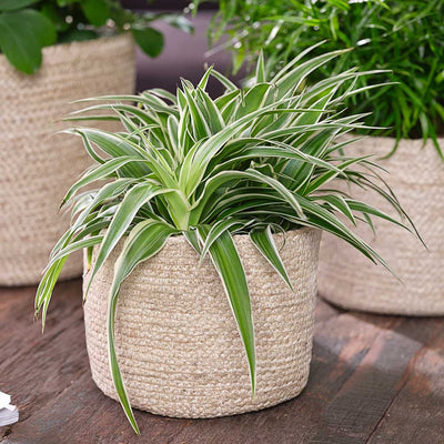 Selin Plant Basket - Jute with Spider Plant
