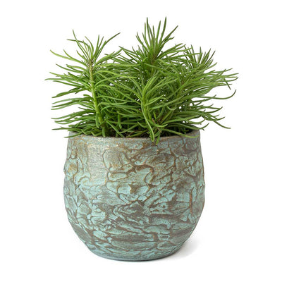 Senecio Himalaya - Himalaya Groundsel & Evi Plant Pot Antique Bronze