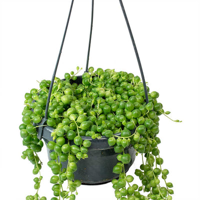 Senecio rowleyanus - String of Pearls Trails