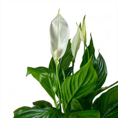 Spathiphyllum Bellini - Peace Lily Leaves