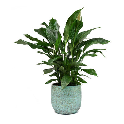Spathiphyllum Sweet Lauretta Peace Lily & Evi Plant Pot Antique Bronze