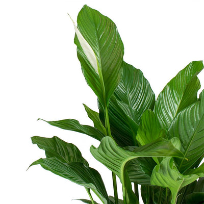 Spathiphyllum Sweet Lauretta - Peace Lily Leaves