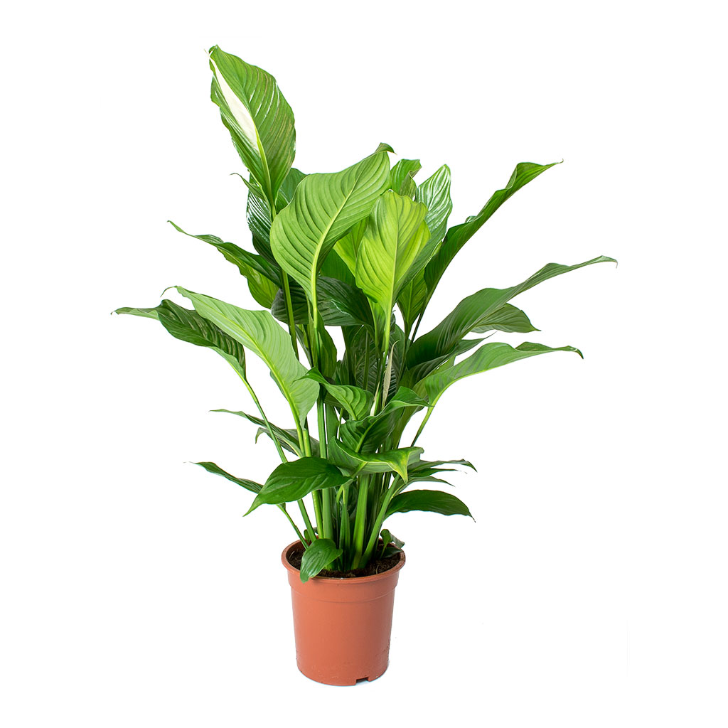 Spathiphyllum Sweet Lauretta Peace Lily Purify Your Air Hortology