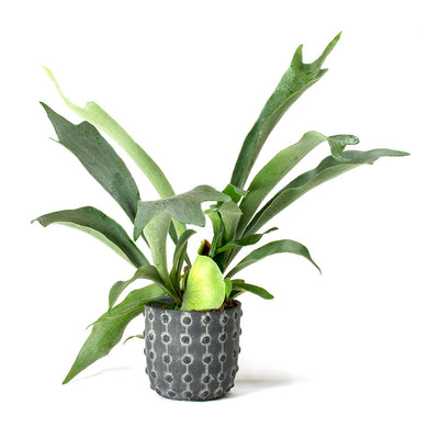 Staghorn Fern & Dots Plant Pot