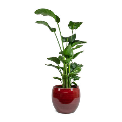 Strelitzia nicolai Giant White Bird of Paradise & Cresta Plant Pot Deep Red