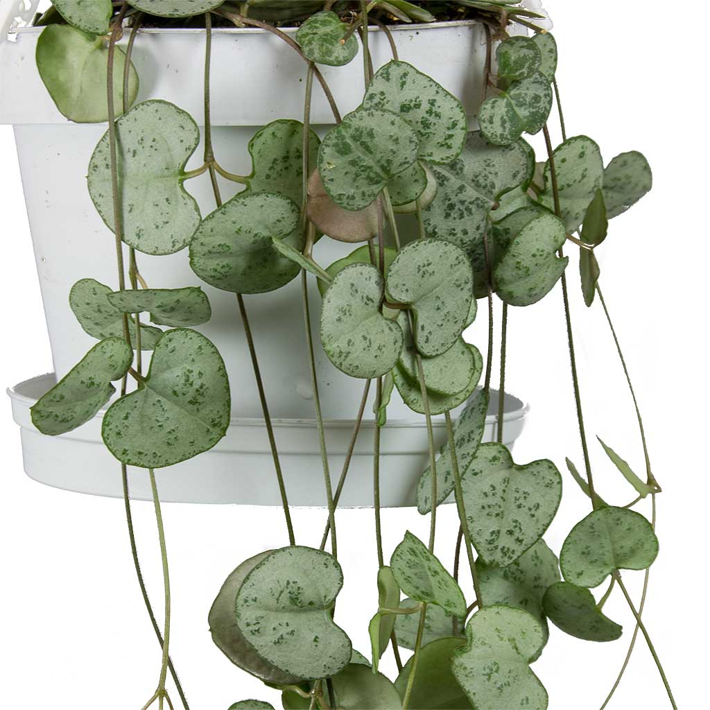 Ceropegia Woodii String Of Hearts Rosary Vine