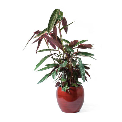 Stromanthe sanguinea Triostar & Cresta Deep Red Planter