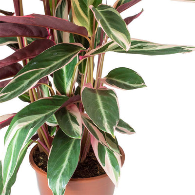 Stromanthe sanguinea Triostar Leaves