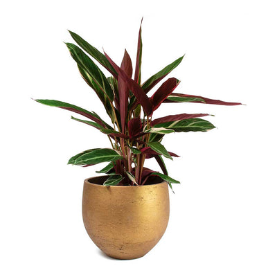 Stromanthe sanguinea Triostar & Mini Orb Kevan Plant Pot - Metallic Copper