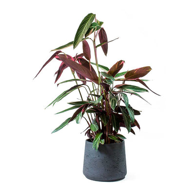 Stromanthe sanguinea Triostar & Patt Black Washed Planter