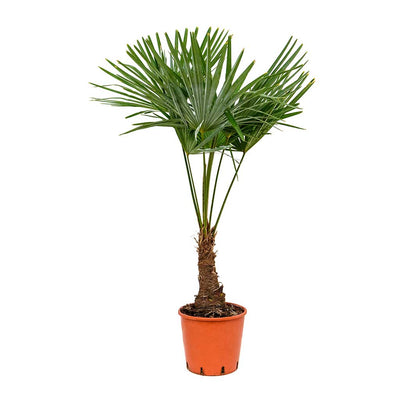 Trachycarpus fortunei - Windmill Palm 115cm