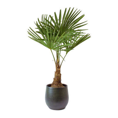 Trachycarpus fortunei - Windmill Palm & Esra Dark Green Plant Pot