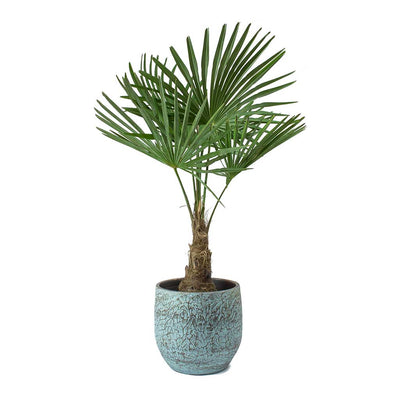 Trachycarpus fortunei - Windmill Palm & Evi Antique Bronze Plant Pot