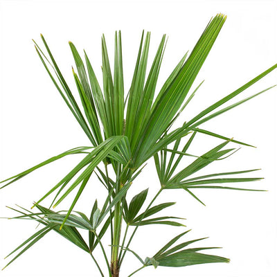 Trachycarpus fortunei - Windmill Palm Leaves