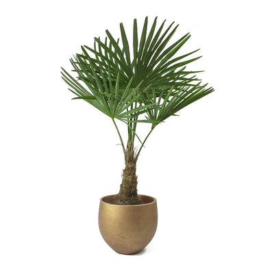 Trachycarpus fortunei - Windmill Palm & Mini Orb Kevan Plant Pot