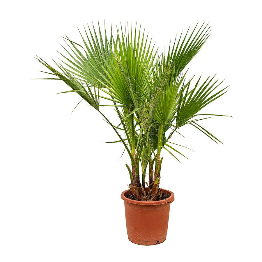 Washingtonia robusta - Mexican Fan Palm 30 x 110cm