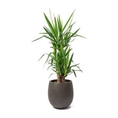 Yucca elephantipes Spineless Yucca 3 Stems Balloon Plant Pot Rusty Iron Concrete