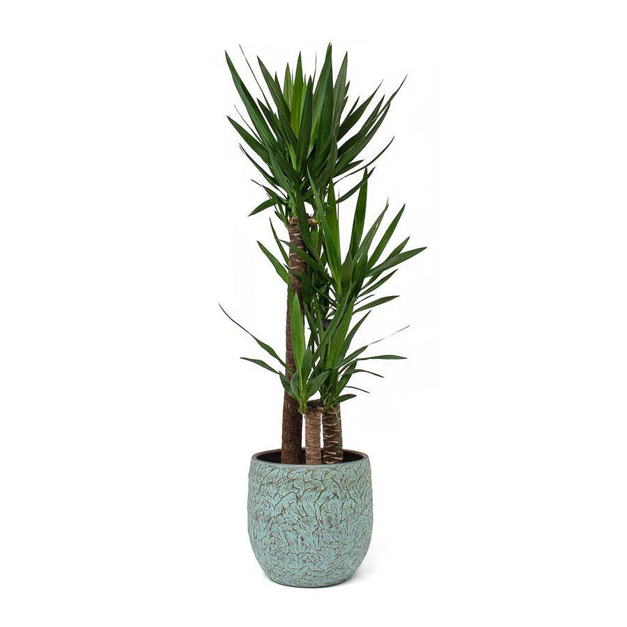 Large Tall Houseplants Buy Online Hortologycouk