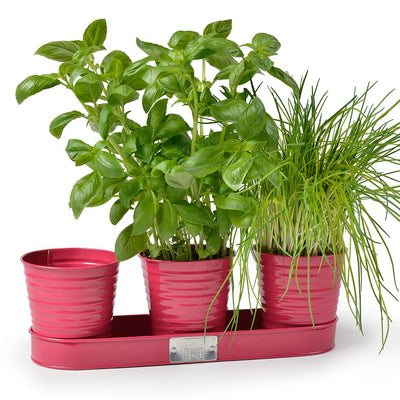 Sophie Conran Set of 3 Herb Pots Planted - Raspberry