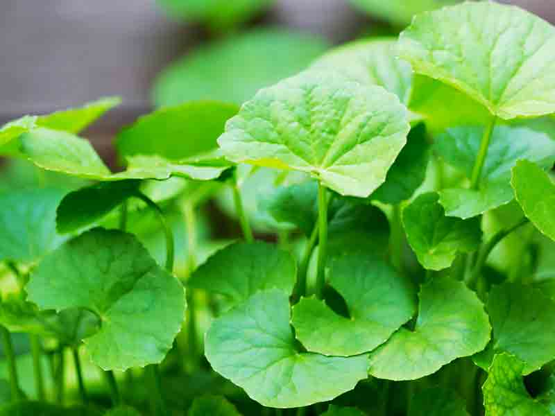 Centella…The Fountain Of Youth