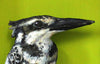 Paper Taxidermy | Pied Kingfisher