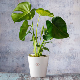 Monstera Deliciosa Plant In Pot