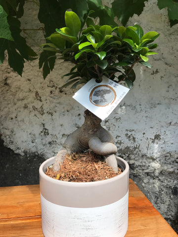 Bonsai Tree Indoor