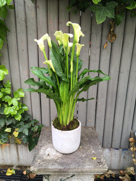 Calla Lily Plant in Pot, Plant - Oasis Florists
