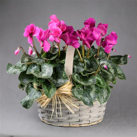 Cyclamen Planter Basket, Plant - Oasis Florists