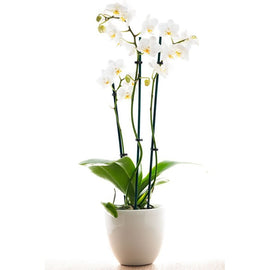 Phalanopsis Orchid *sold out*, Plant - Oasis Florists