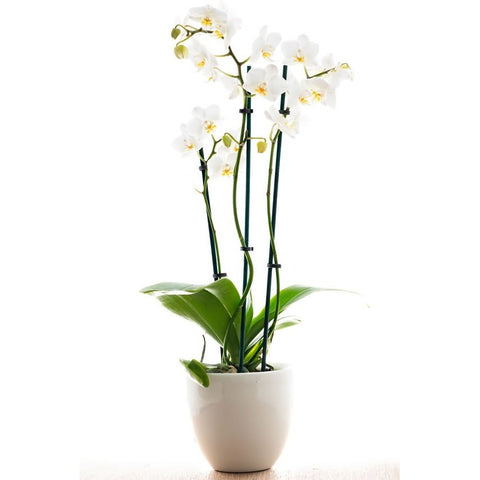 *SPECIAL OFFER* Phalanopsis Orchid, Plant - Oasis Florists