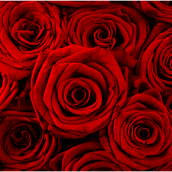 Deluxe Dozen Red Roses, Flowers - Oasis Florists