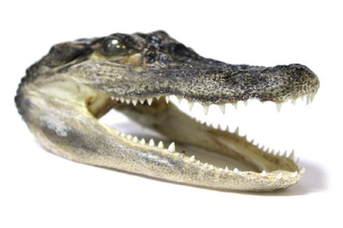 Authentic 6 Inch Long Real Gator Alligator Head
