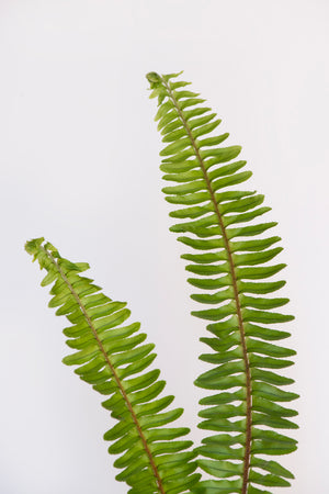 Ferns for Your Walls