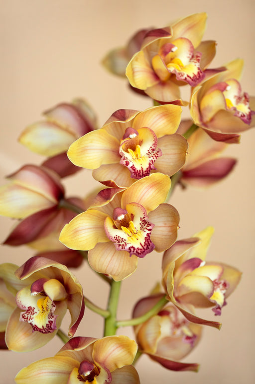 Yellow Orchids 2