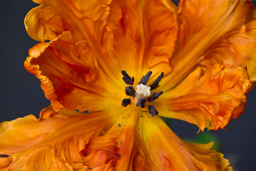 Deep Orange Parrot Tulip