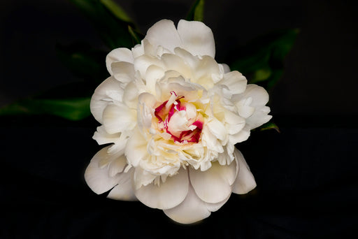 White Peony with Fuchsia Center