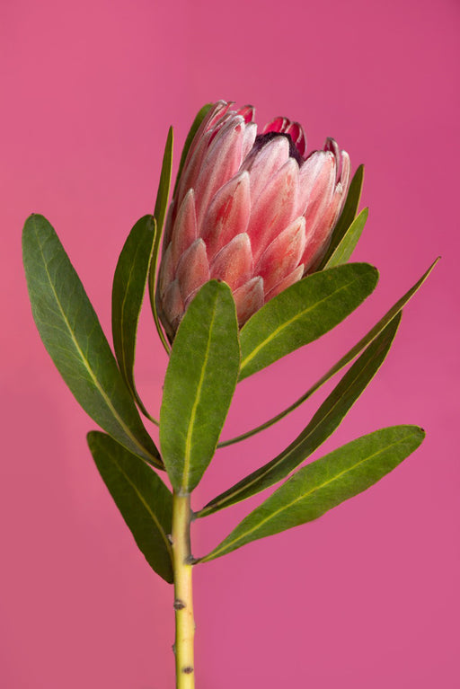 Protea on Pink
