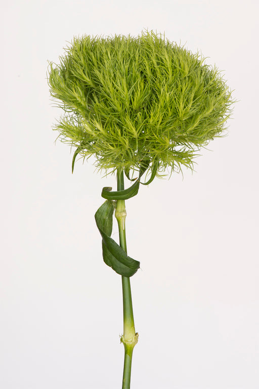 Green Trick Dianthus