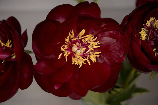 Peonies in Burgundy