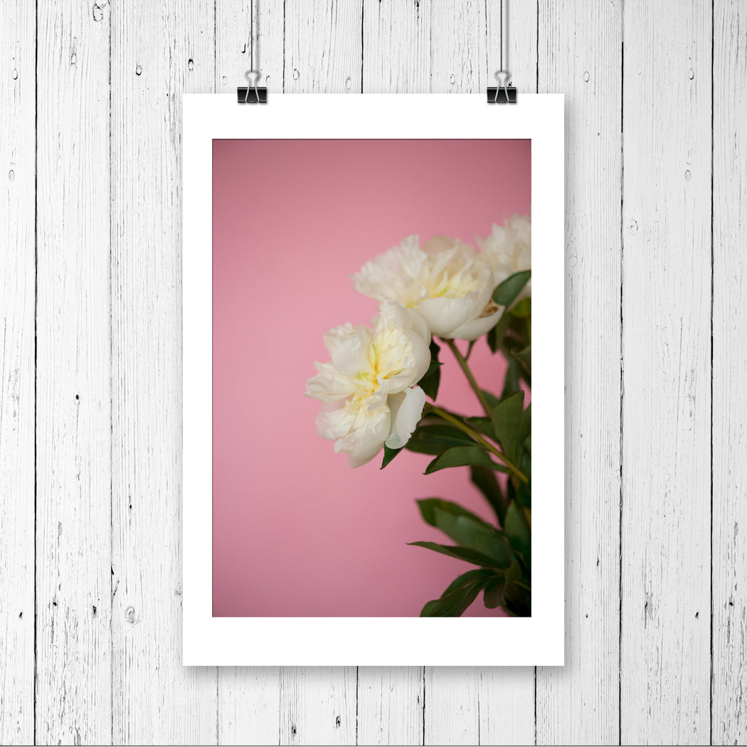 White Peonies on Pink