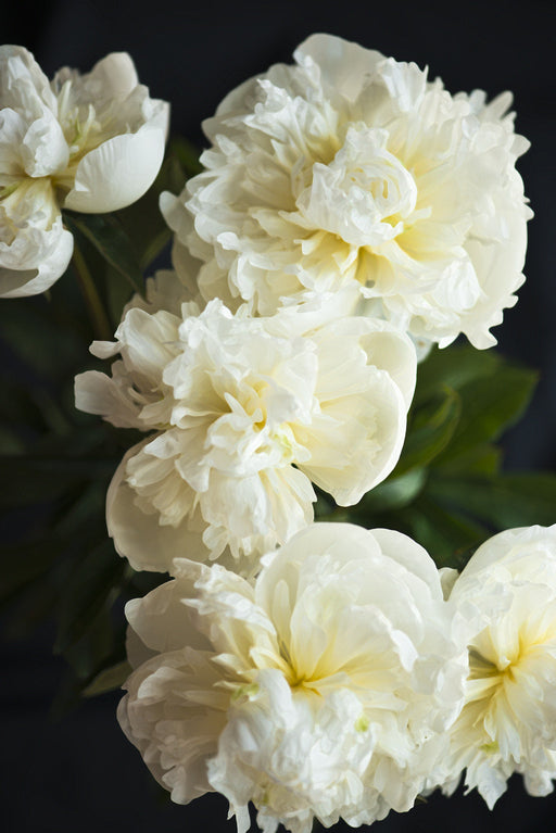 Painted White Peonies